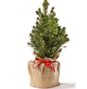 koop een kerstboom op Groei & Bloei pakketzenden.nl
