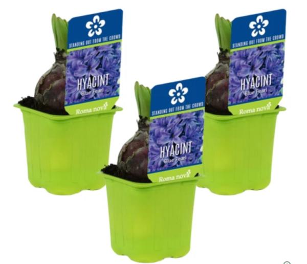 bloembollen-op-pot-hyacinten-groei-en-bloei-pakketzenden