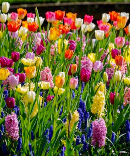 bloembollenmix-pakketzenden.nl-bloembollen-voorjaar-relatiegeschenk-groei-en-bloei
